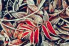 Frosty leaves. Pic Ian Coleman
