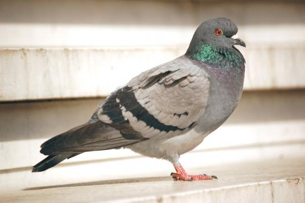The Bolton News: Pigeons are vermin, according to Wigan Council.