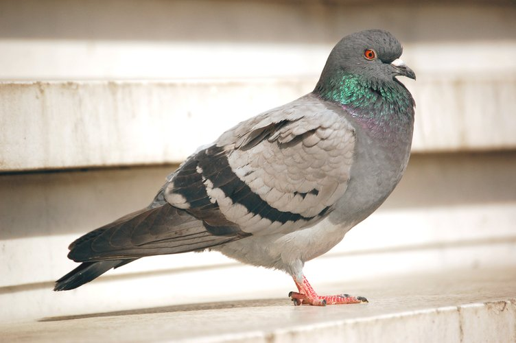Pigeons are vermin, according to Wigan Council.
