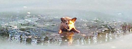 Dog scrambles to safety after falling though ice