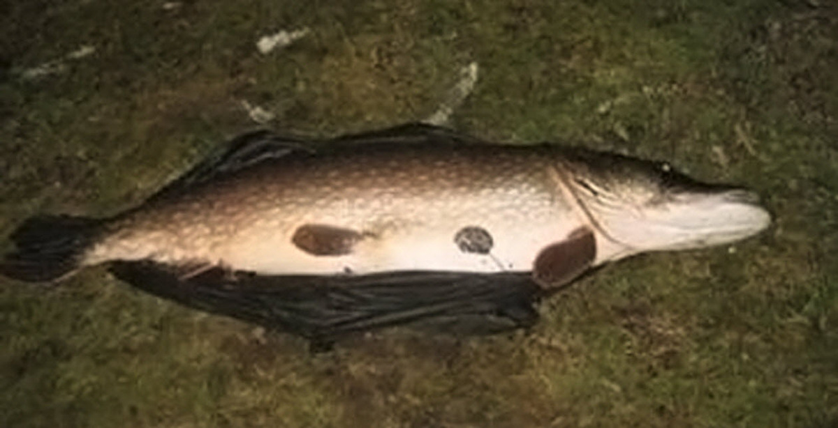 A pike. Poachers have been illegally fishing for them in Wayoh Reservoir.