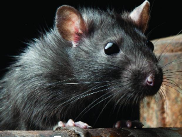 Bolton vet among first to offer rat disease vaccine
