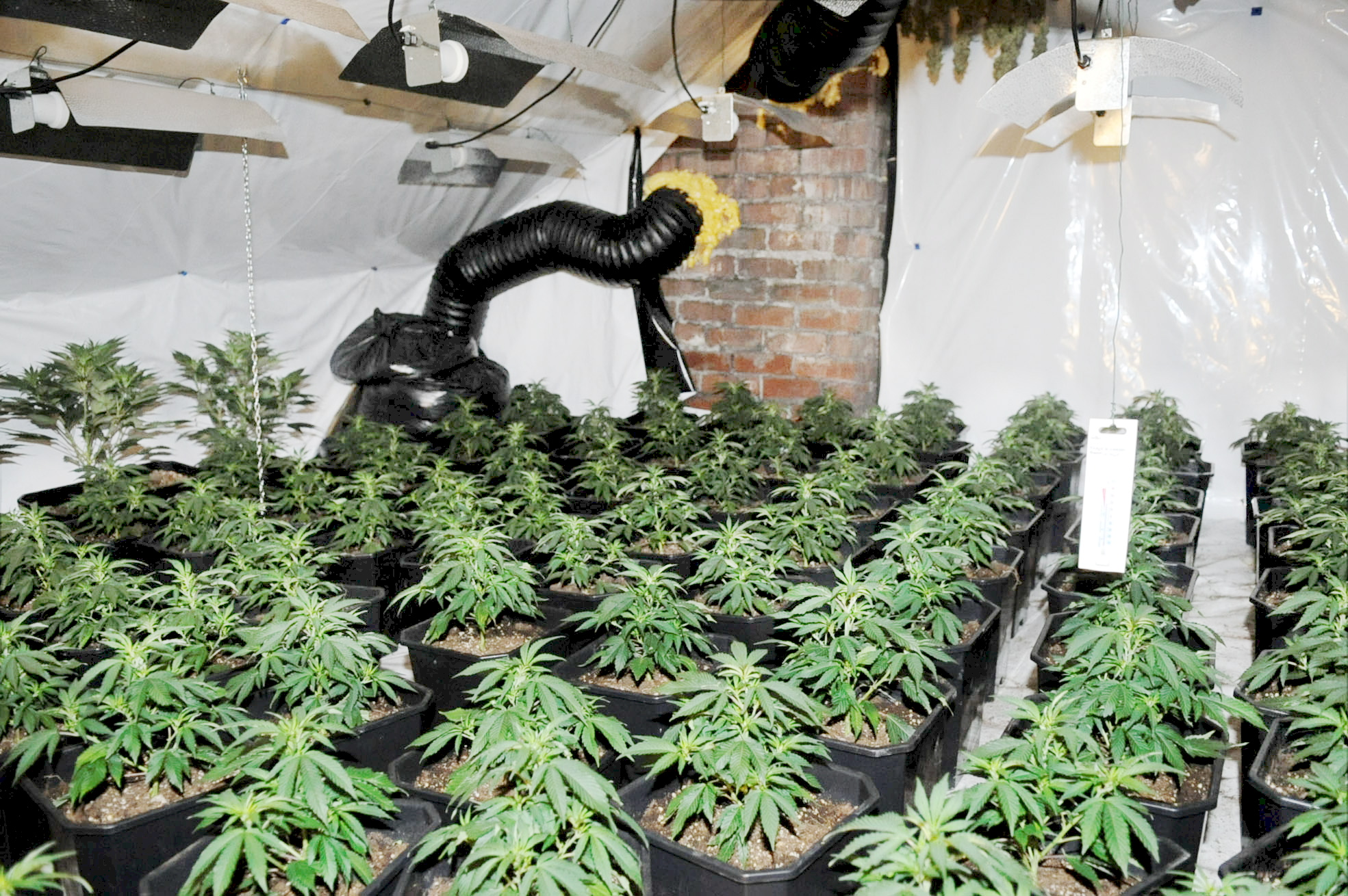 UPDATE: Police sniff out huge cannabis farm in Halliwell house