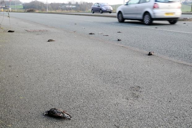 The dead starlings in Beaumont Road, Ladybridge