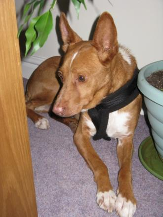Homie, a podenco, is missing from his home on Broadwell Drive in Leigh