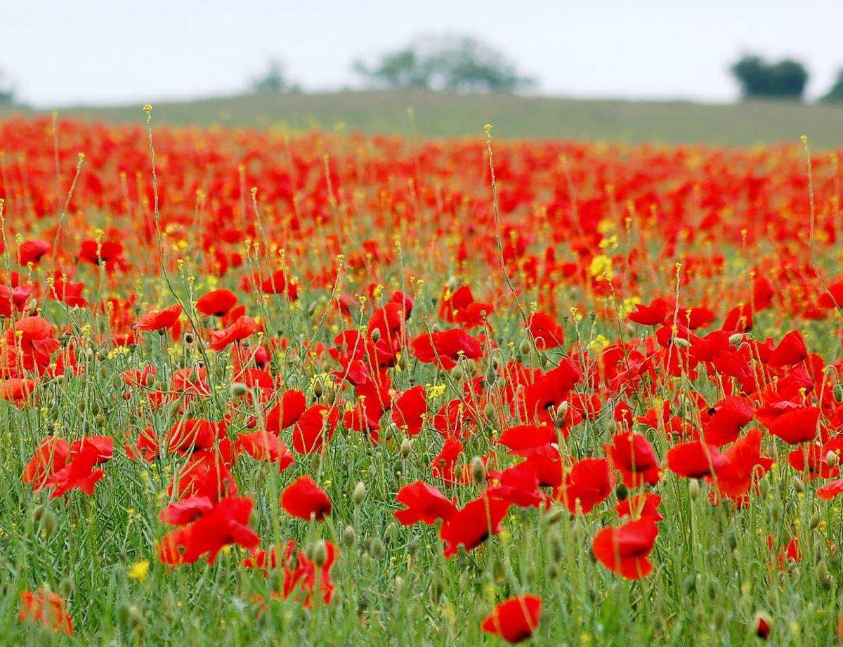 Hundreds Of Poppies To Be Planted Across Bolton To Commemorate World