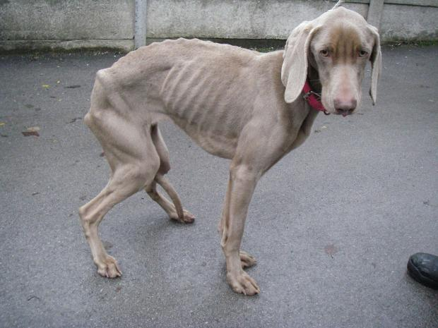 "The Bolton News: Lola was so badly starved by her owners that she looked like a ""walking skeleton""."