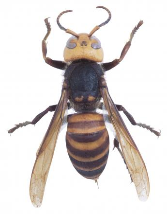 A wasp. A large swarm of them has been spotted near Middlebrook.