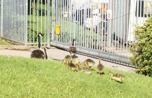 The Bolton News: The family of geese on grass at the side of Bolton Blinds