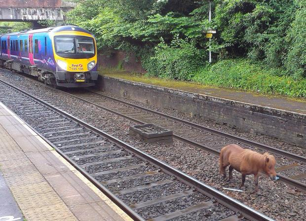 PICTURED: Shetland pony on the tracks causing rush hour delays