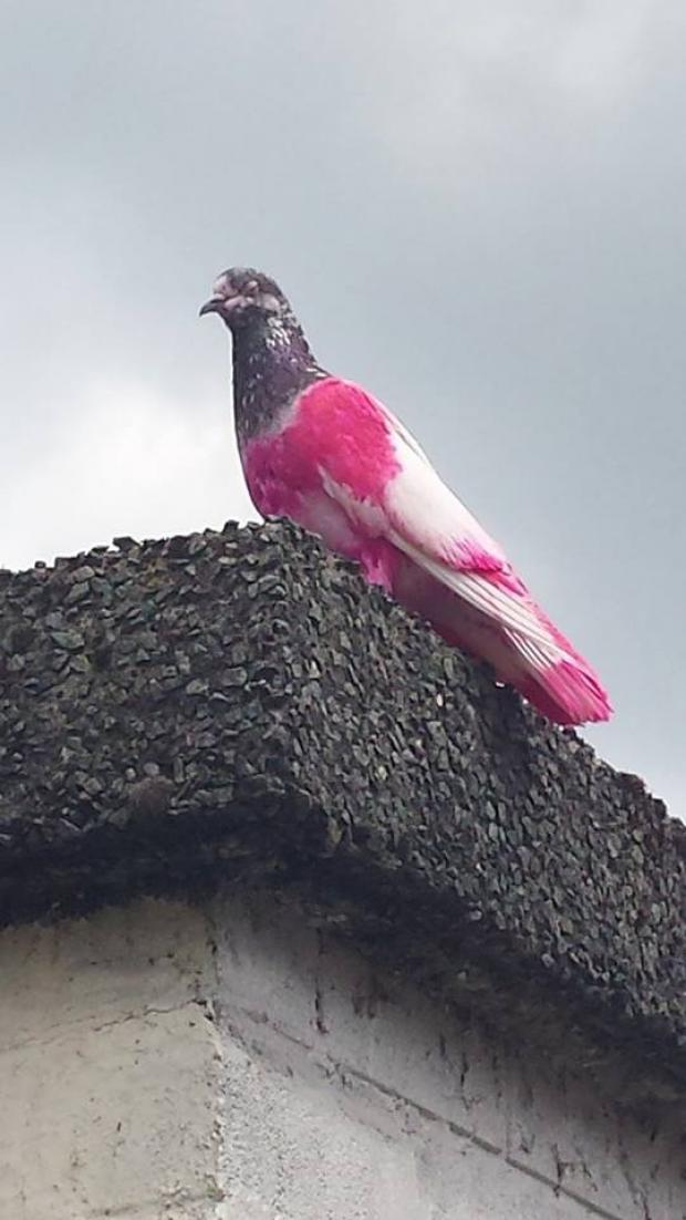 The Bolton News: Rare pink pigeon spied on rooftops in Bolton