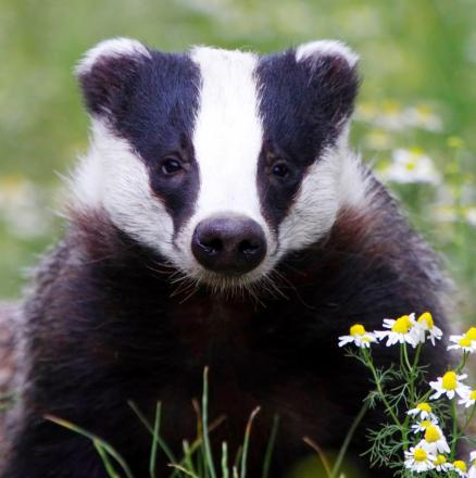 Bolton Council bans badger cull - despite no plans for one