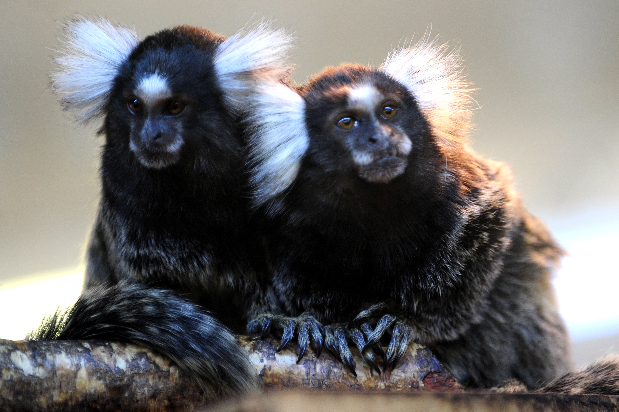 Row Over Monkeys On Display At Garden Centre The Bolton News