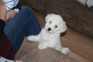 Family's appeal after £500 designer puppy 'stolen' from garden in Westhoughton