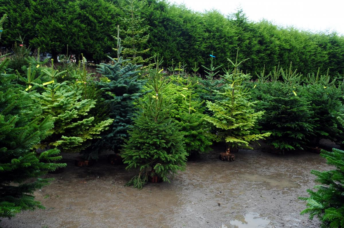 7 places to buy real Christmas trees in Bolton — and how to keep ...