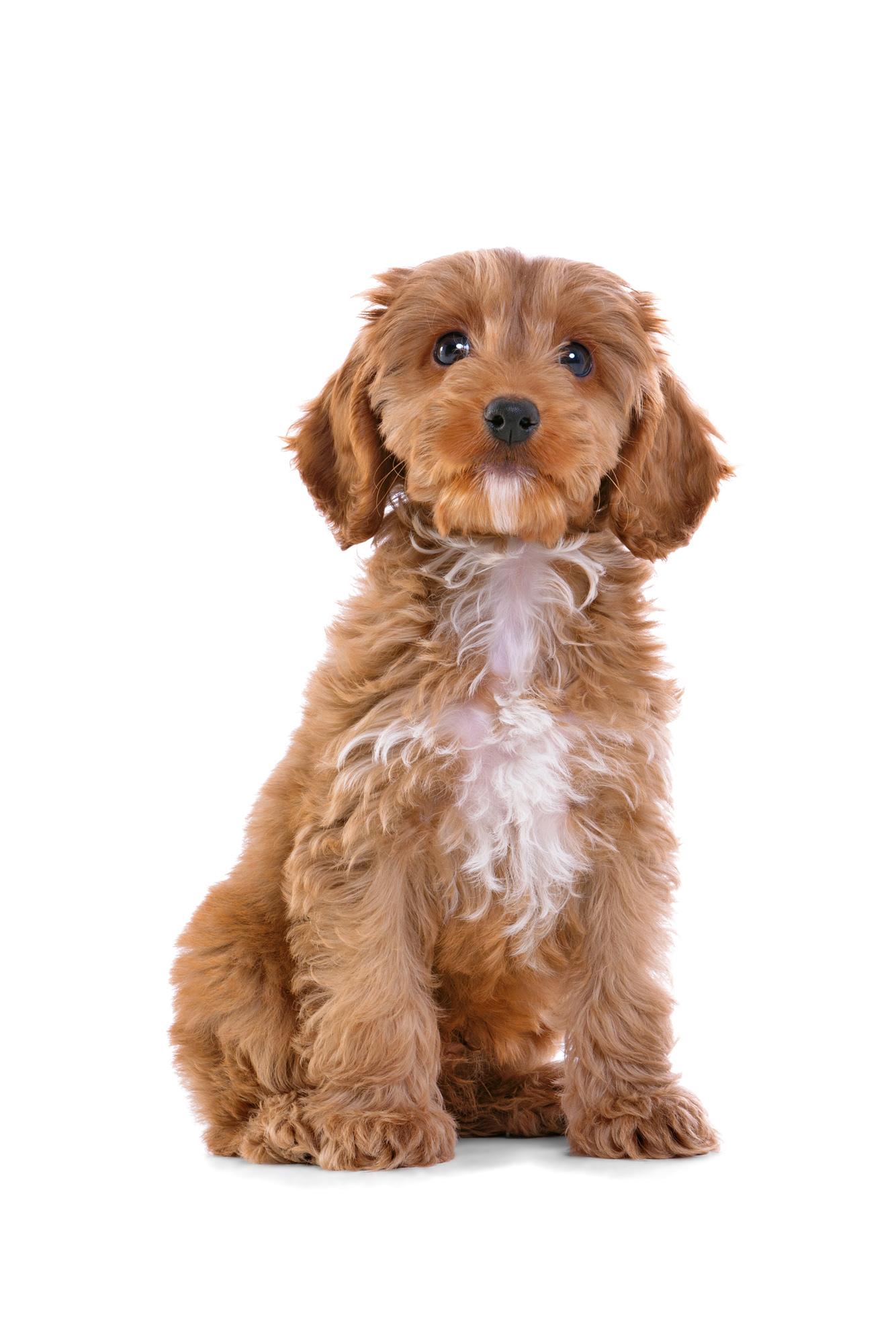 Revealed 5 Most Popular Designer Dog Breeds The Bolton News