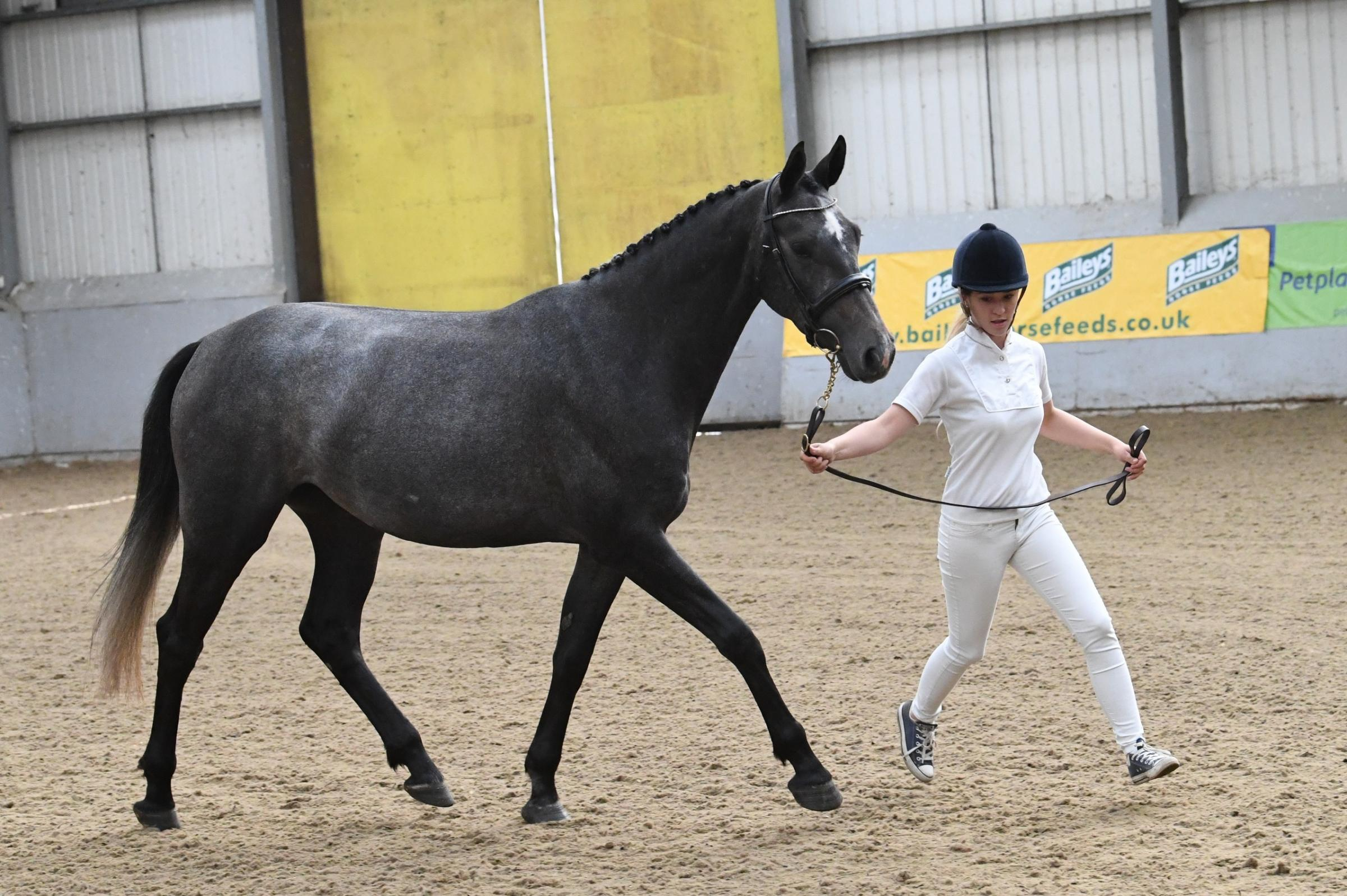 TIPPED FOR THE TOP: Pebbles, a three-year-old filly owned by Boltonian Joshua Williamson, is put through her paces at the BEF Futurity event at Myerscough College. Pic: Kevin Sparrow