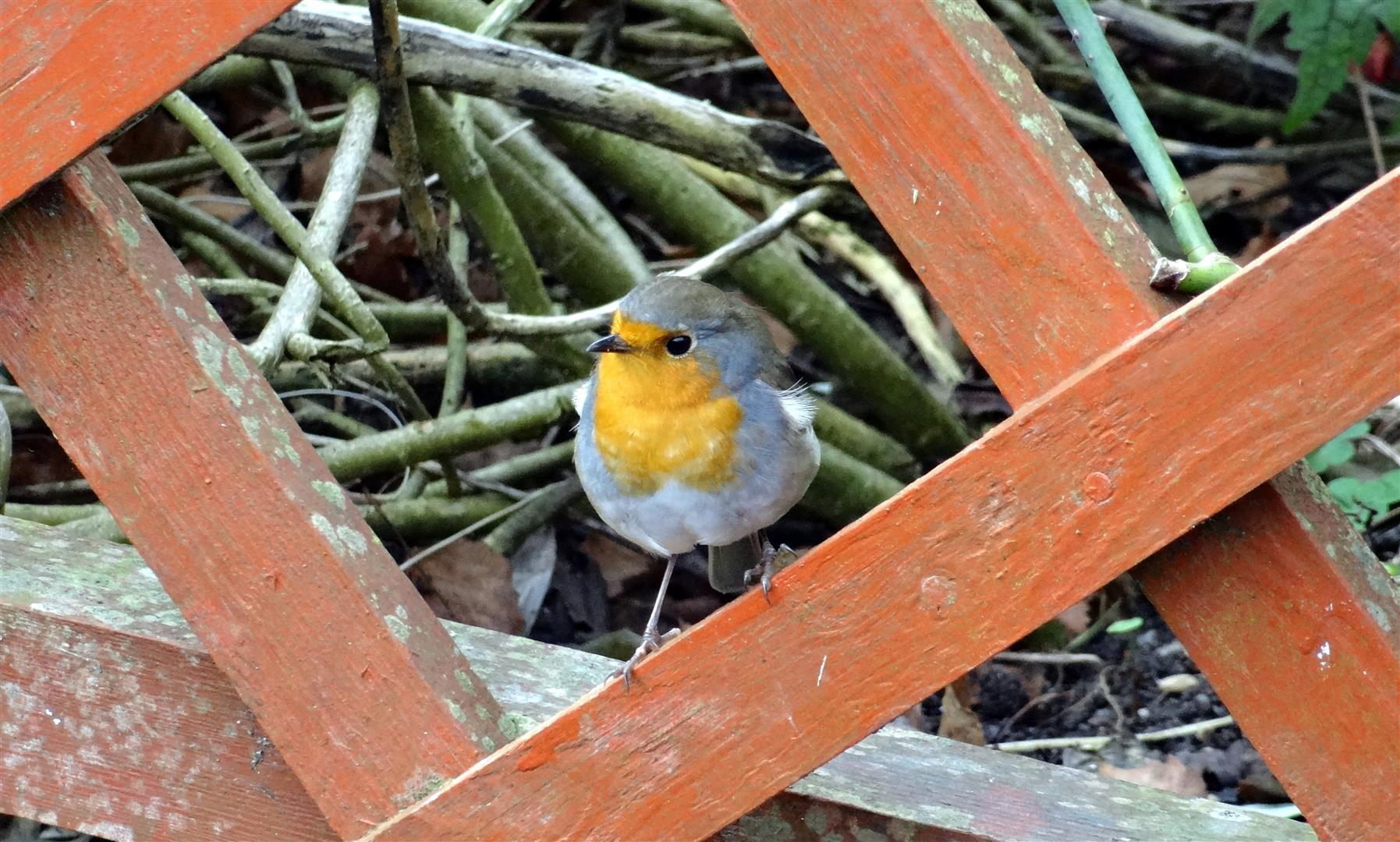 Robin searching for food in the garden for publication...                                                               Thanks,..                                                                     Roy Higson (from Horwich) ...