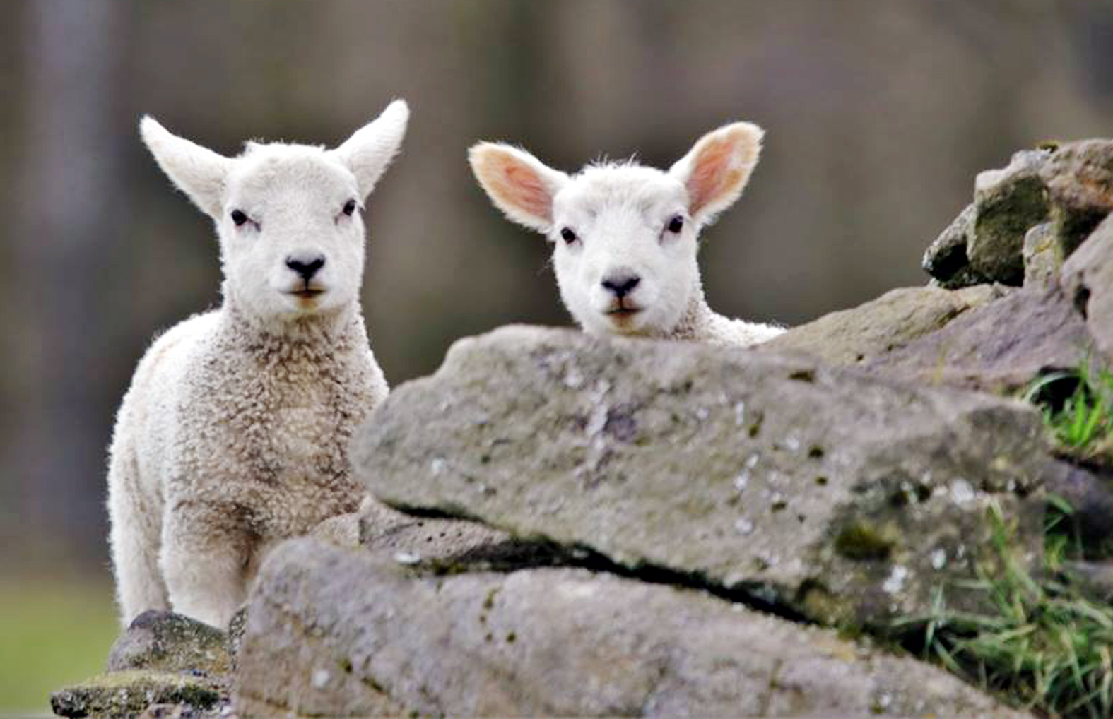 Spring Lambs by Henry Lisowski